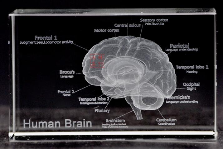 US $19 27 12% OFF|English version of the 3 d crystal inside carving  furnishing articles brain anatomical structure schematic brain model-in  Medical
