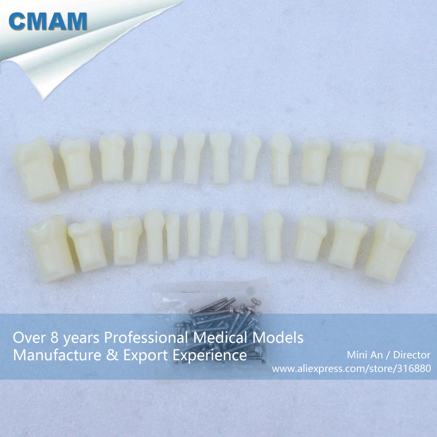 CMAM DH406 24pcs Per Set Primary Teeth With Straight Roots