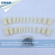 CMAM-DH406 24pcs Per Set Primary Teeth With Straight Roots