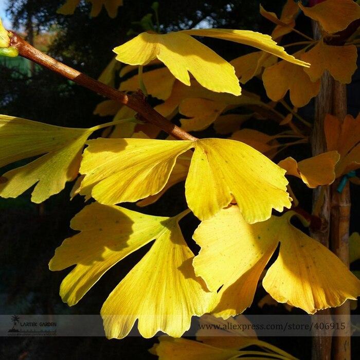 Maidenhair Fossil Tree Gingko Ginkgo Biloba Bonsai Se Z