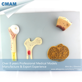 12355 / Human Medical Anatomy Bone Structure Section Board,  Medical Science Educational Teaching Anatomical Models