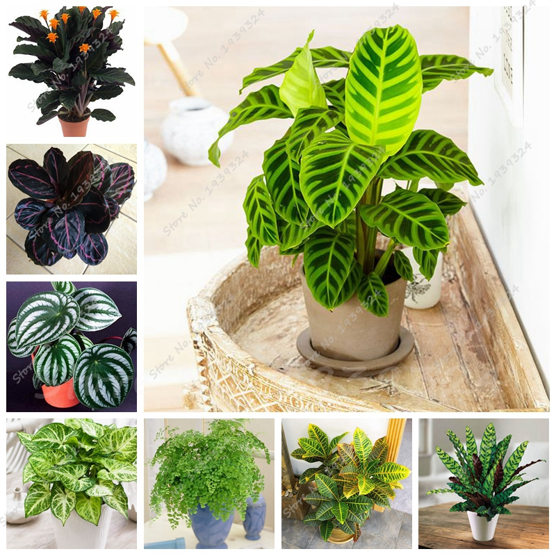 50 Pcs Rare Thailand Calathea Flower Seeds, Holiday Peacock Plant, Low  Light, High Humidity, Easy To Grow, Garden Ornaments