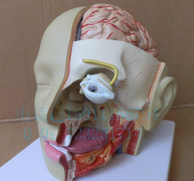 Human head anatomy model head band brain model otolaryngology model mouth model