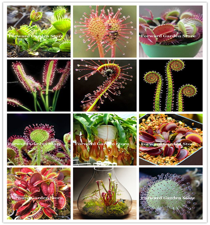 120 Pcs Mixed Carnivorous Plants Potted Flycatcher Bonsai Sundew Table Garden Venus Flytrap Planting Radiation Protect