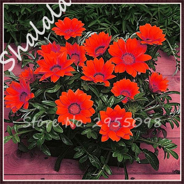 flor rara hierba roja gazania semillas plantas de exterior muy fcil de crecer semillas de flores
