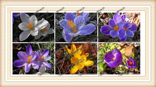 100pcs/bag flower daffodil,daffodil seeds(not daffodi Q