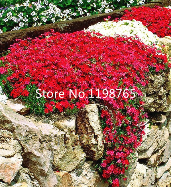 300 perennial flowering groundcover seeds rock cress bright red 300 perennial flowering groundcover seeds rock cress bright red bonsai ebay mightylinksfo