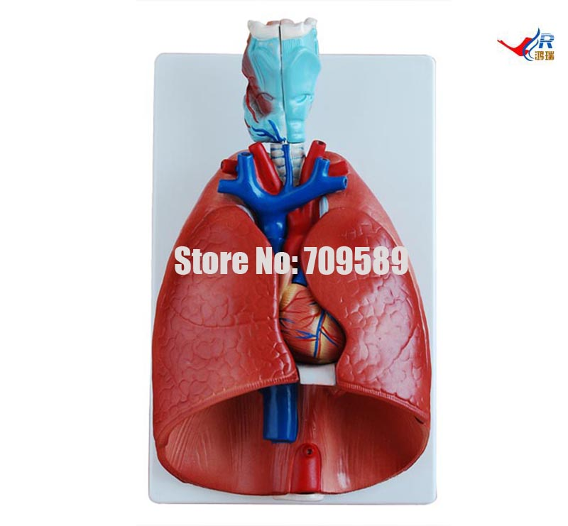 ISO Detachable Human Larynx, Heart and Lungs Model