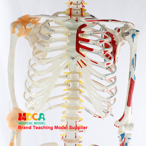 Image 3 - 170 CENTIMETRI Scheletrico Umano Modello Neuromuscolare di Avviamento e Arresto Colorato Legamento Scheletro di Yoga di Insegnamento Medico MGG301