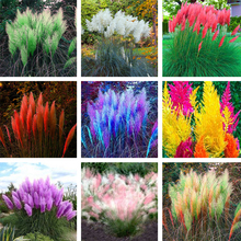 New Exotic 600PCS Pampas Grass Colorful Home Garden Are Very Beautiful Flowers Decorative