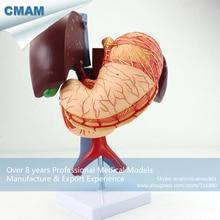 CMAM-VISCERA01 Human Anatomy Stomach Associated of the Upper Abdomen Model in 6 Parts