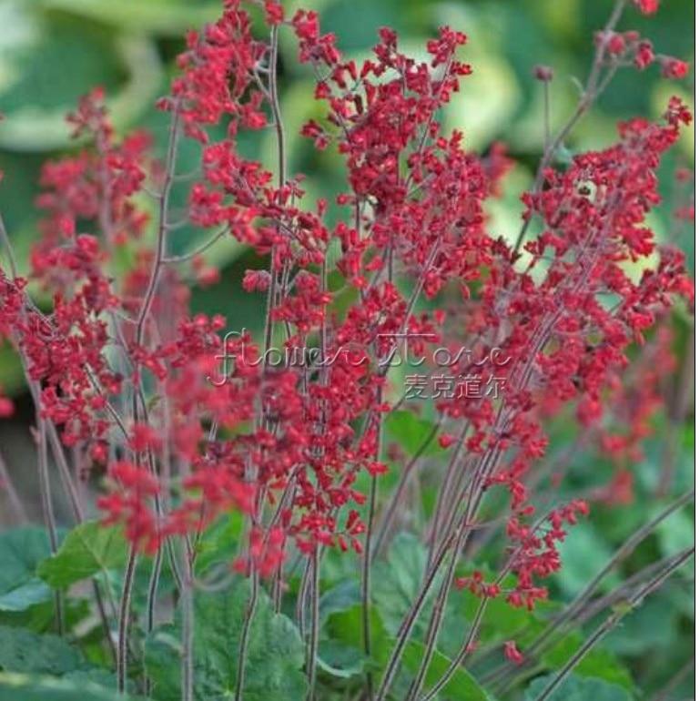 400 attractive heuchera seeds high value ornamental plants easy care