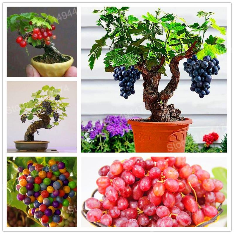 unids uvas semillas mini uva semillas de rboles bonsai de la fruta negro semillas de