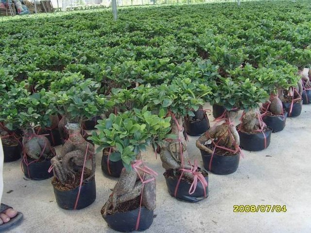 Ginseng ficus bonsai33 in bonsai from home garden on - Bonsai ficus ginseng entretien ...