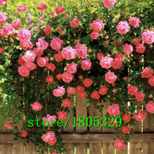Flowers seed for garden Climbing Rose 50pcs floer GREAT PROMOTION Plants planters Bonsai