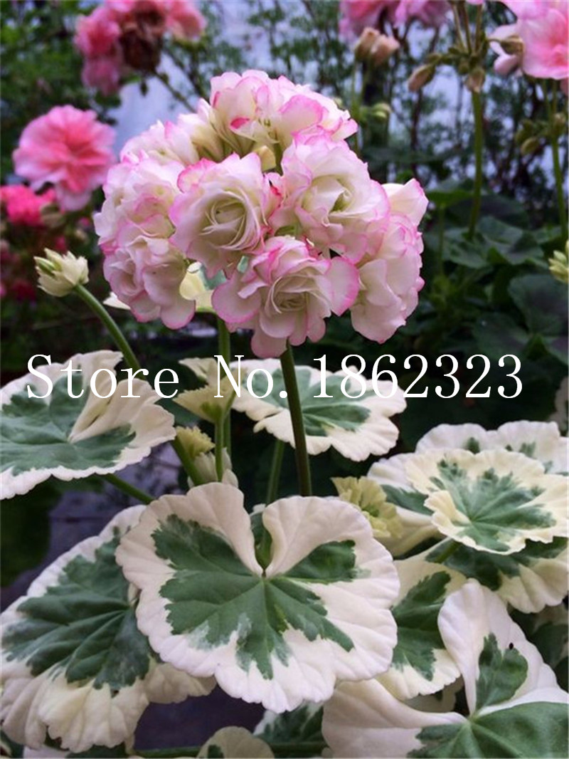 50 stk Geranium bonsai, have blomster af flerårige Fleur Grey geranium, Pelargonium Ivy Bonsai, Houseplants Geranium blomst