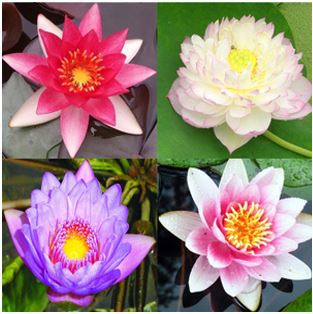 Different types of lotus flowers images flower decoration ideas types of lotus flower gallery flower decoration ideas types of lotus flower image collections flower decoration mightylinksfo