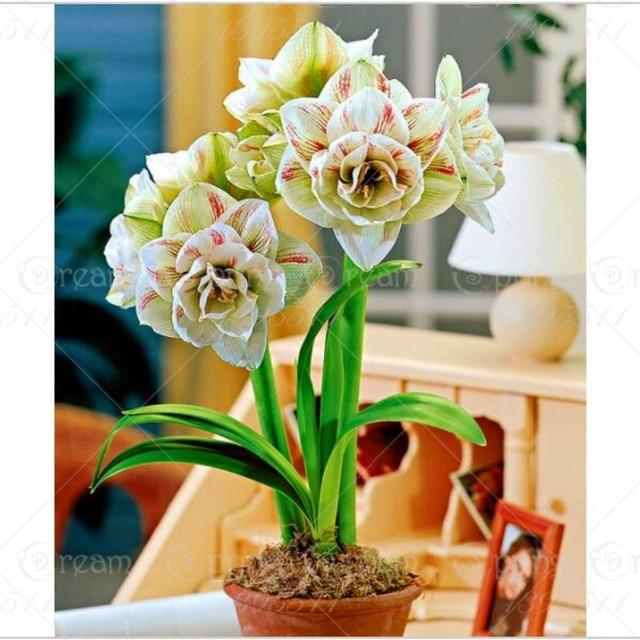 100pcs Blue Hippeastrum Flower Bonsai Plants (not bulbs) Perennial Indoor Flowering Potted Big Flower Home Garden 3