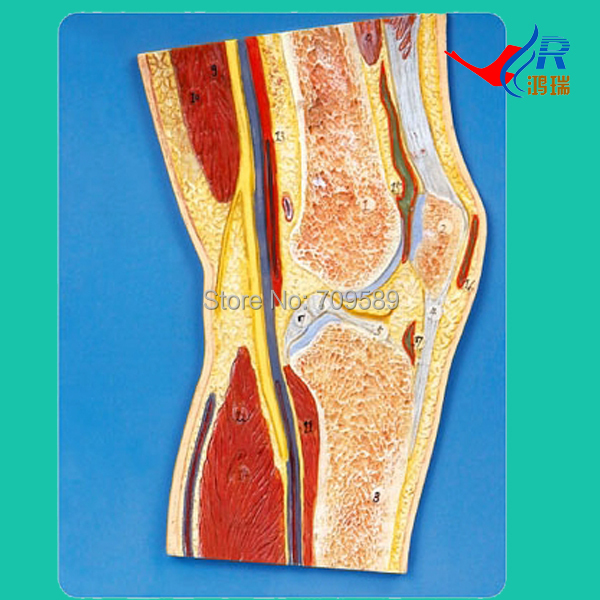 ISO Knee Joint Section Model, Anatomical Knee Model iso median section of head model anatomical head model
