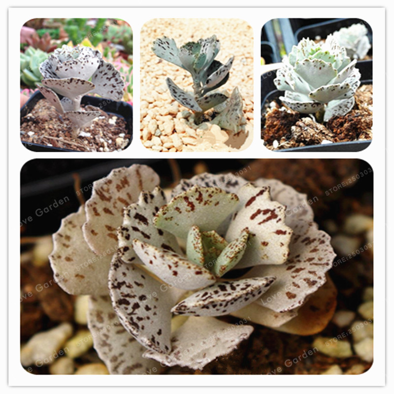 100 Pcs Rare Kalanchoe Marmorata Seeds Perennial Potted Plant Succulent Seeds Plants For DIY Home Garden