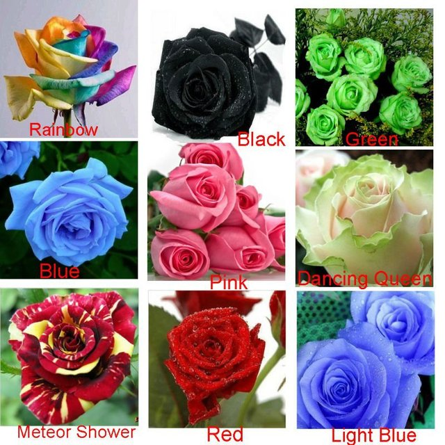 Heirloom 9 Colors 1800 Seeds Rainbow, Black, Green, Blue, Pink, White, Red, Colorful Rose Shrub Flower Seeds, Separated Pack