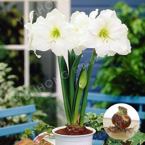 2個/パック ホワイトHippeastrumルチルランプ盆栽花盆栽鉢植え盆栽珍しい花盆栽庭