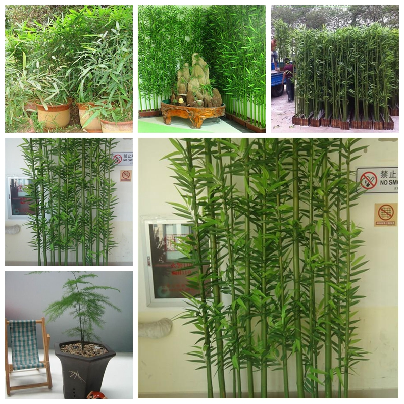 60pcs/bag Chinese Mini Moso Bamboo . Phyllostachys Heterocycla Pubescens-Giant Courtyard Moso Bamboo For DIY Home Garden Plant