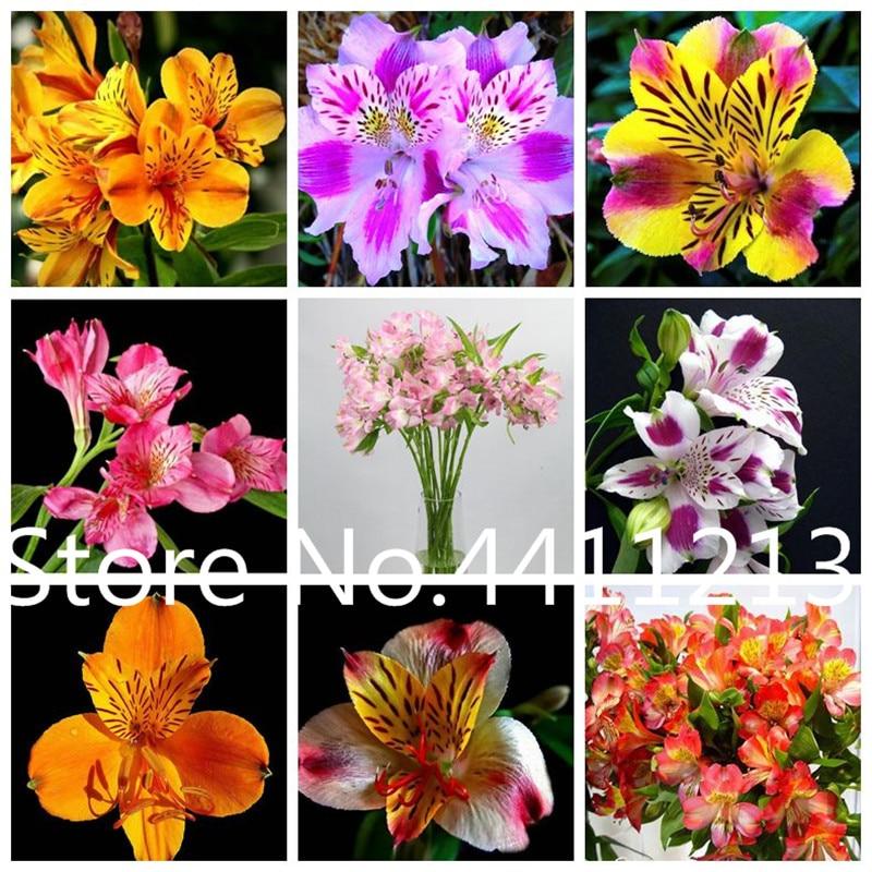 100 Pcs Rare Peruvian Lily Alstroemeria Plants Mix Color Lilies