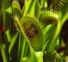 500pcs 100% Genuine Dionaea Muscipula Giant Clip Venus Flytrap Seeds Carnivorous Plant Seeds