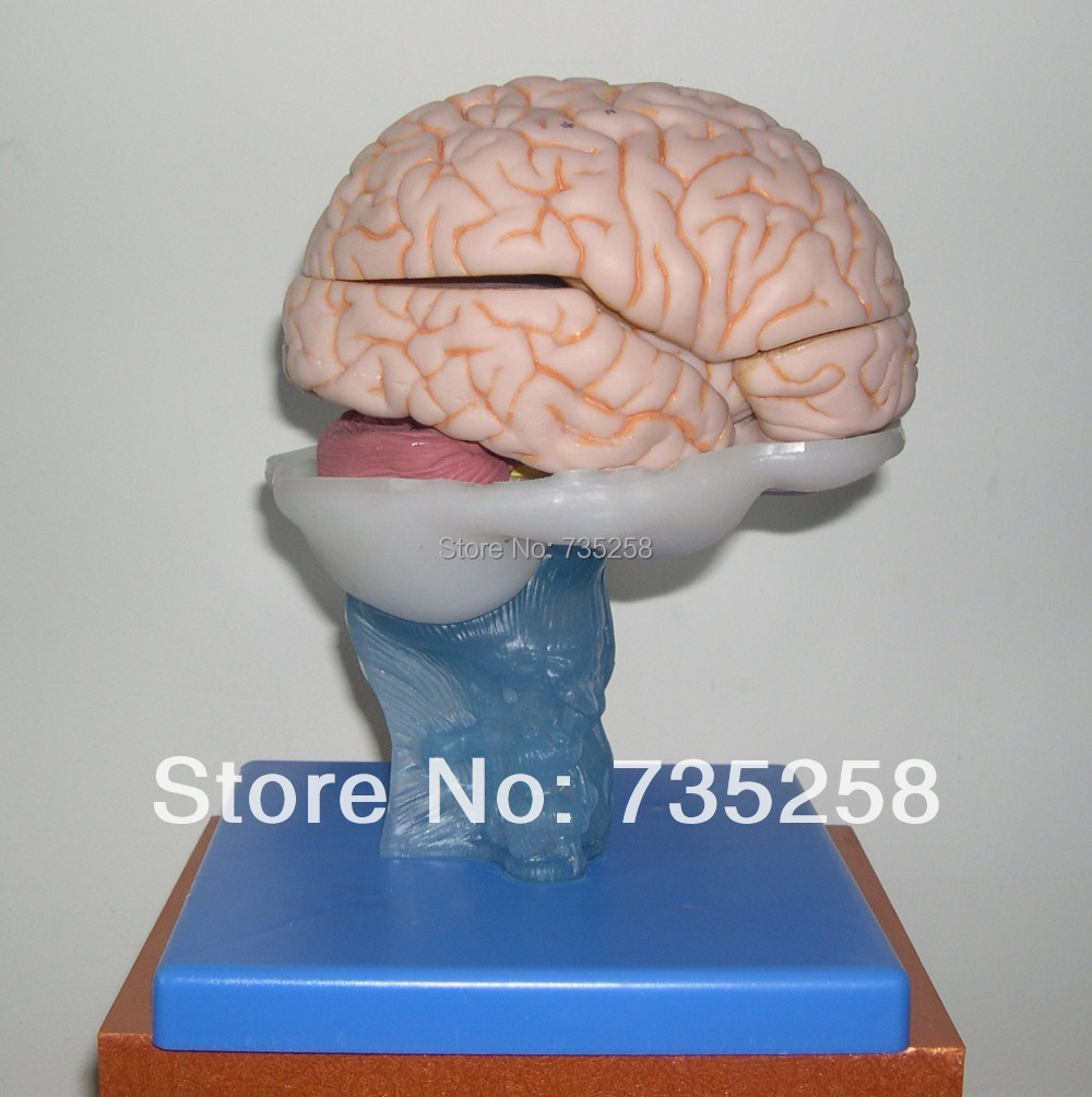 ISO Certification Advanced Brain Anatomical Model,Brain Anatomy Teaching Model,Brain Model human larynx model advanced anatomical larynx model