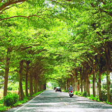 2017 hot-sale!Promotion 20pcs Terminalia neotaliala Capuron seeds Lobular seeds Perennial woody plants Street tree free shipping