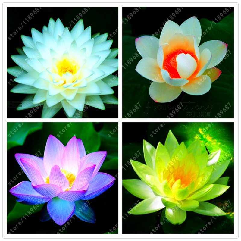 10pcs/bag lotus flower, lotus seeds, Aquatic plants Water Plants water lily flower seeds plant for home garden
