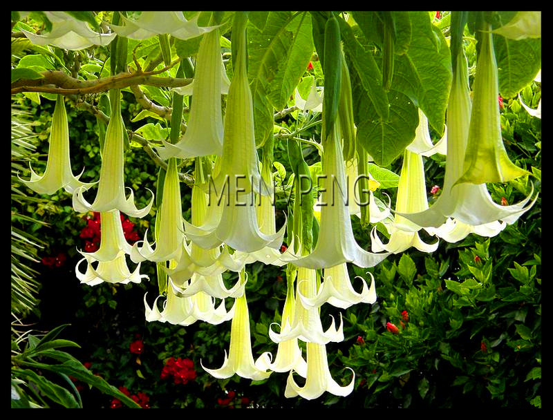 Loss Promotion!Datura flower seeds Tropical Plant seeds aromatic White Angels Trumpet flower indoor bonsai seed for home garden-