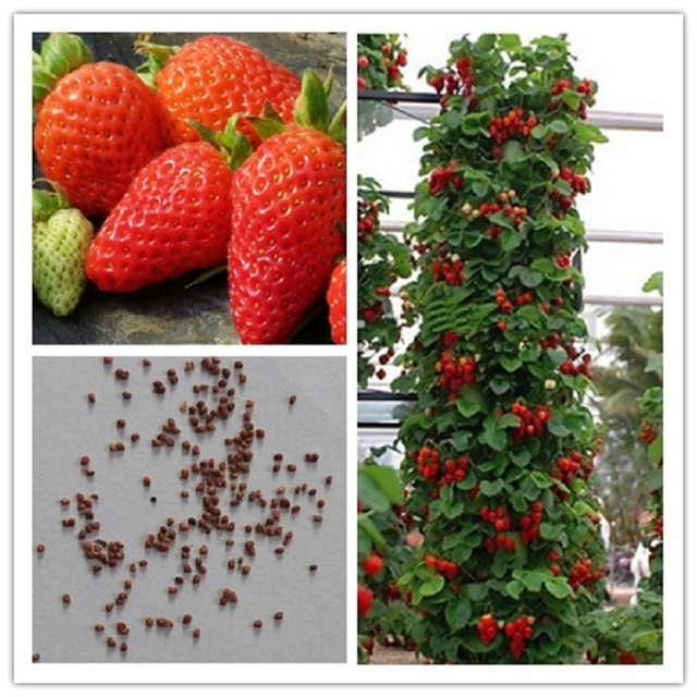 100% farmer Direct Selling Indoor Plants Strawberry Seeds & Rare Color Strawberry Seed Fruit Seeds for Garden Bonsai  100 seeds