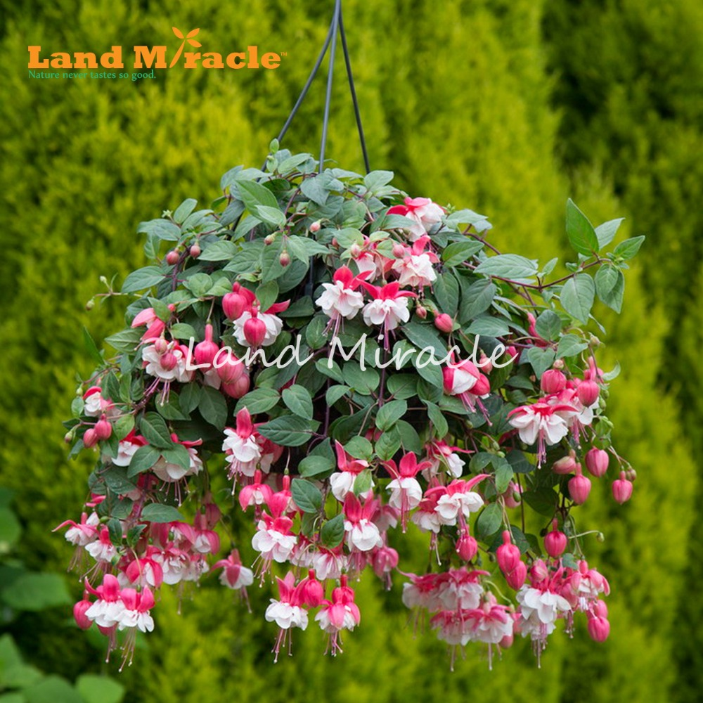 Land Miracle Hanging Red W White Flower Fuchsia Seeds 100 Seeds