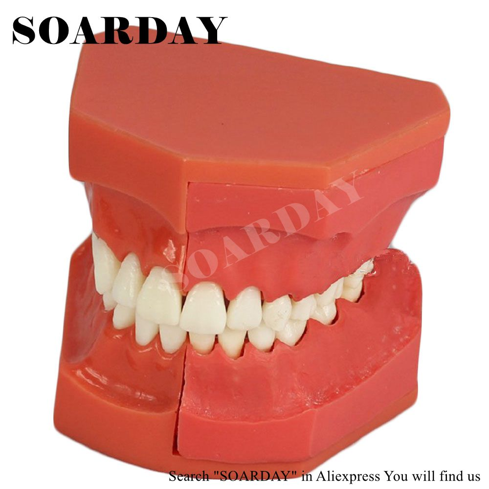 SOARDAY Dentural Development Model dental tooth teeth anatomical anatomy model odontologia soarday children primary teeth alternating transparent model dental root clearly displayed dentist patient communication