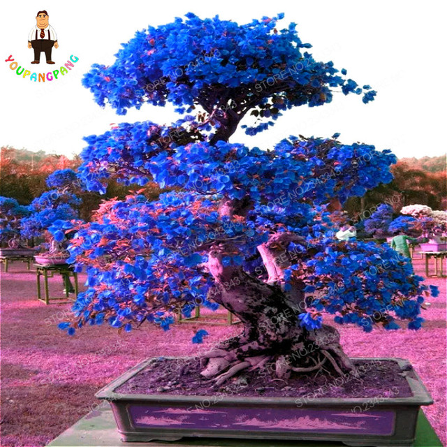 Top Selling Sky Blue Bougainvillea Spectabilis Willd Seeds ...