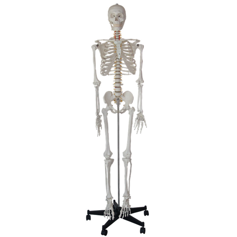 HeyModel Human Whole Body Bone Model Skeleton with Pained Color for Medical Use plastic standing human skeleton life size for horror hunted house halloween decoration