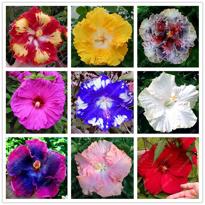 Hibiscus Plantation-Achetez des lots à Petit Prix Hibiscus ...