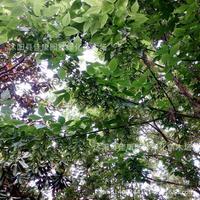 harveplantt plantugar maple tree plant 200g / Pack