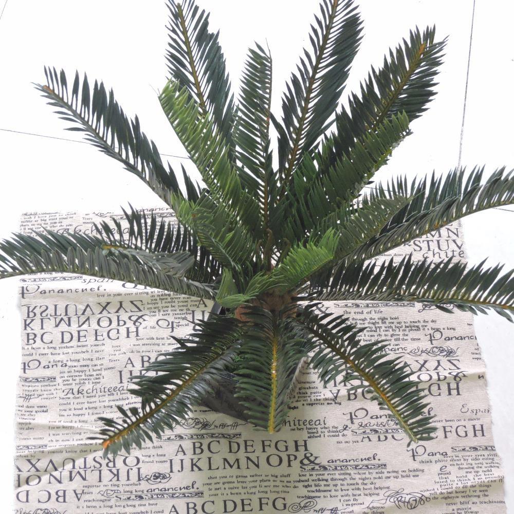 Palme Da Vaso Per Esterno phoenix palme da cocco cycas evergreen felce albero pianta