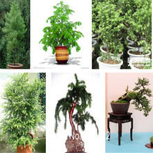 200pcs Giant Sequoia Bonsai Seeds