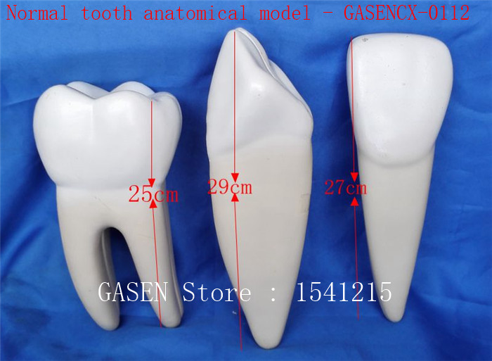 Oral model Nursing tooth model Medical teaching model Normal tooth anatomical model - GASENCX-0112 shunzaor dog ear lesion anatomical model animal model animal veterinary science medical teaching aids medical research model