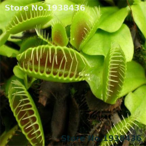 50 PCS / Pack Potted Insectivorous Dionaea Giant Clip Flytrap  Carnivorous Plant  Home And Garden Indoor Plant