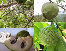20pcs/bag graviola annona muricata,Exotic seeds Sweetsop seeds tropical fruit seeds Nutritious green fruit home garden plant