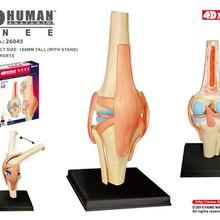 4D мастер человека Колено модель анатомия модель человеческих органов медицинское обучение DIY Наука
