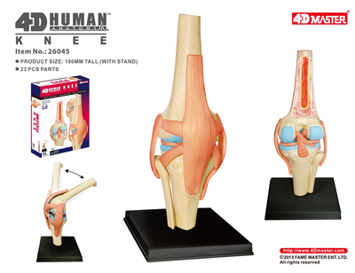 4D Master Human Knee Model Anatomy Model Of Human Organs Medical Teaching DIY Science