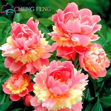 10pcs/bag Peony plants Chinese Garden Bonsai Peony Flower plants Beautiful Potted Plants bonsai For Home Jardin * Indoor Semente(China)