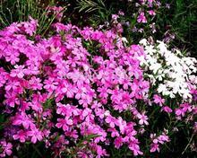 Кивнув Мухоловка Триумф 20 шт. красивые семена цветов балкон растения