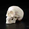 1 ADET Mini Kafatası İnsan Anatomisi Anatomisi Kafa Tıbbi Model Uygun 92x99x71mm Ev Dekorasyon